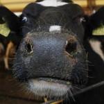 Россия ввела запрет на ввоз говядины из ЕС