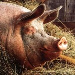 Европа потеряла российский рынок свинины