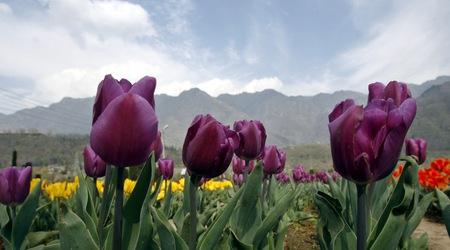Война  тюльпанов на румынской границе